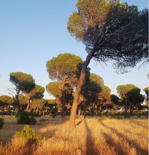 Pinar - San Vicente de Arévalo
